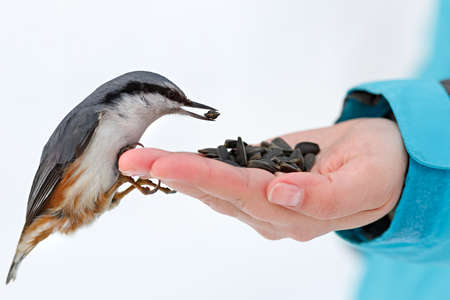Feeding hungry birds in the winter. Nuthatch takes sunflower seeds from a hand. Sitta europaea