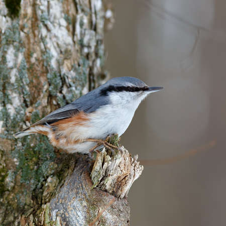 Nuthatch on a tree branch, looking for food. Sitta europaea photo