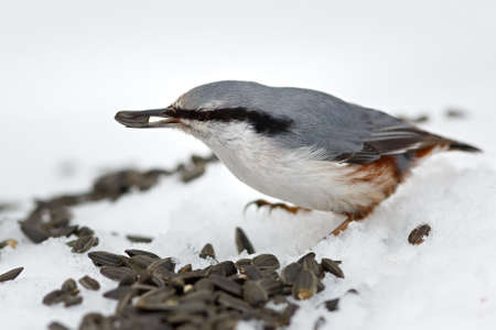 Feeding hungry birds in the winter. Sitta europaea photo