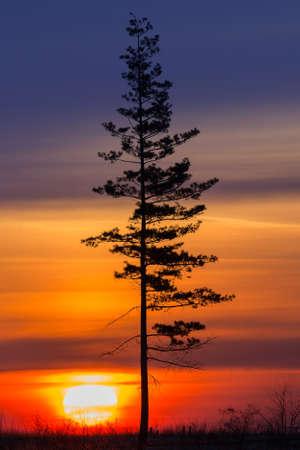 amanecer: Viejo árbol contra el sol de la mañana. Amanecer. Foto de archivo