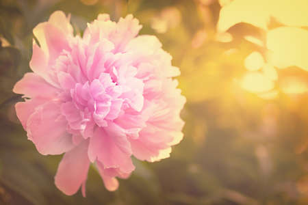 flores chinas: Pink peony blooming in the garden. Toned. Evening garden at sunset. Foto de archivo