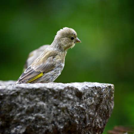 greenfinch: Bird feeding sunflower seeds from the feeder. Greenfinch. Carduelis  chloris