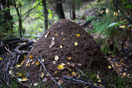 hormiga: Gran hormiguero en el bosque.