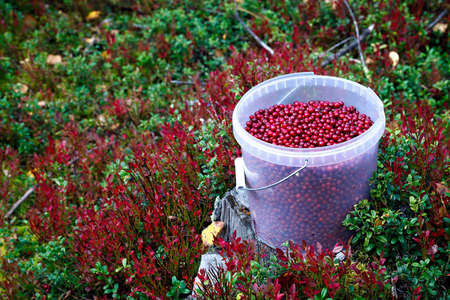 sour grass: Cranberries in a plastic bucket on the green grass