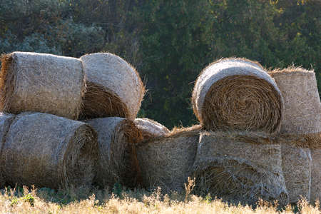 penned: penned in the summer hay to feed the animals at the farm in winter. Stock Photo