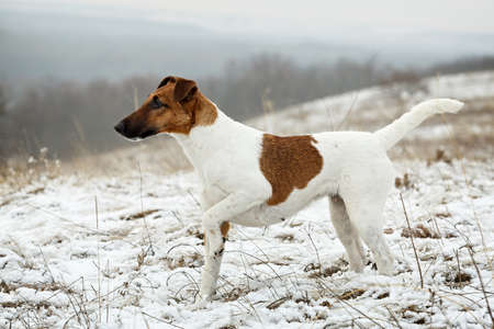 Smooth Fox Terrier standing in the rack on a flat snow surface. Training a hunting dog.