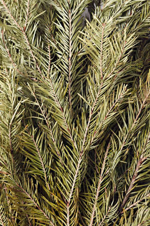 besom: Dried branches of fir for baths and saunas. Fir besom. Stock Photo