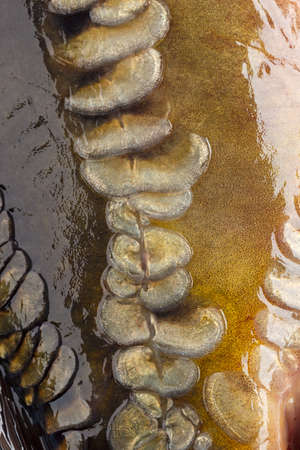 squama: Photographed close-up of fish squama carp family. Stock Photo