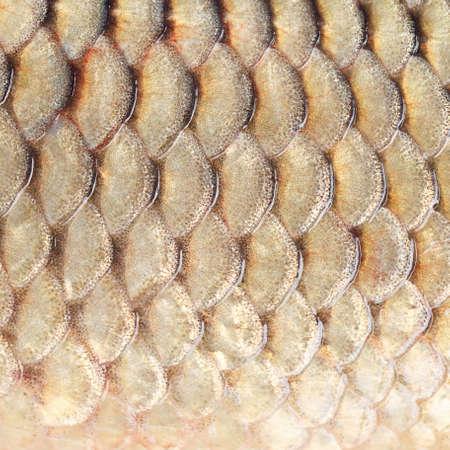 squama: Photographed close-up of fish squama carp family. Square image.
