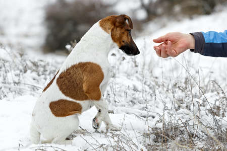 receives: The dog receives food from human hands. Stock Photo