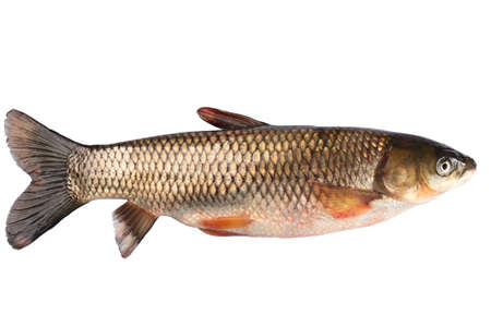 gills: Fish grass carp isolated on white background.