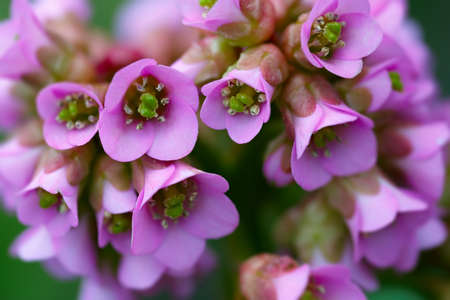 herbaceous plant: Bergenia crassifolia.Perennial herbaceous plant. Stock Photo