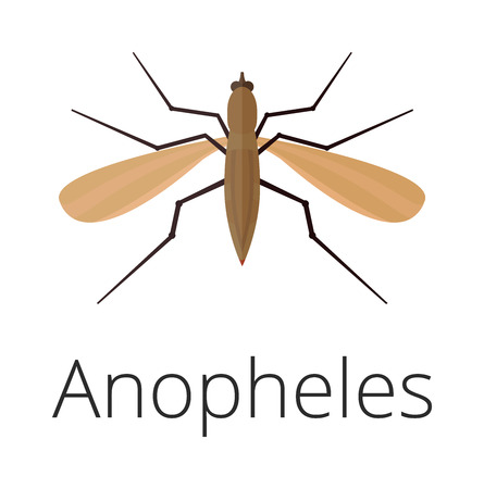 anopheles: Anopheles mosquito vector illustration. Illustration
