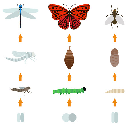pupa: Fly, dragonfly, butterfly emerging from chrysalis four stages amazing moment about bugs change insect birth life vector. Insect birth transmogrify life and insect life creature metamorphose spring.