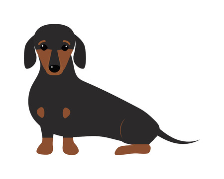 canine: Dachshund dog playing purebred breed, brown puppy canine vector. Cute dachshund dog and little dachshund dog. Domestic young dachshund dog adorable portrait doggy. Domestic sausage pedigree. Illustration