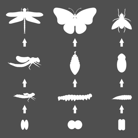 Fly dragonfly butterfly silhouette emerging from chrysalis four stages amazing moment about bugs change insect birth life vector. Vectores