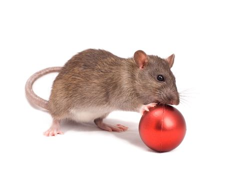 christmas bonus: Rat with New Years balls on a white background