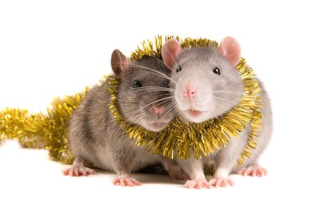 Two rats with a celebratory tape on white background photo