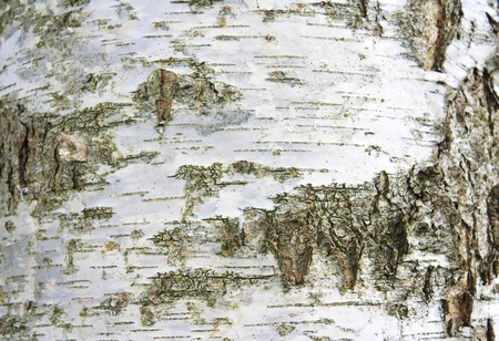Background and the texture of birch bark Stock Photo