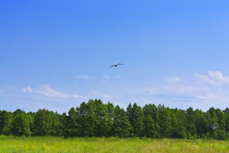 zrozumiały: Ptak lecący nad lasu zielona trawa i błękitne niebo