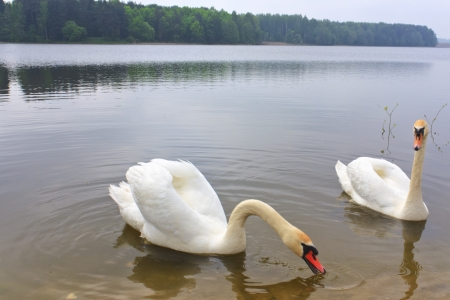 A pair of swans floating on the lake photo