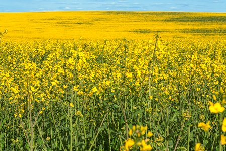 horisontal: yellow flowering rapeseed field landscape horisontal nobody