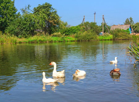 tranquilly: White swans floating on the lake in summer