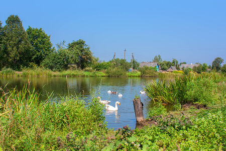 tranquilly: White swans floating on the river in summer