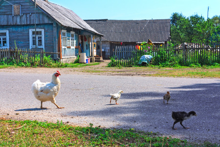 A hen with chickens feeding in the country yard photo