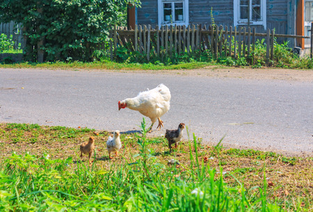 Hen walking in the yard with chickens photo