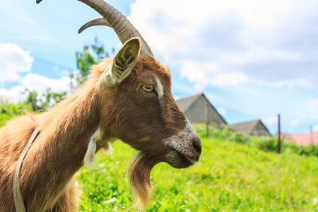 haired: Haired goat in the countryside. Side view