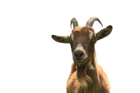 Chèvre isolé sur fond blanc closeup. Vue de face Banque d'images - 55913097