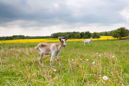 Two goats grazing in a meadow landscape