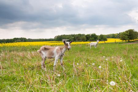 Two goats grazing in a meadow landscape