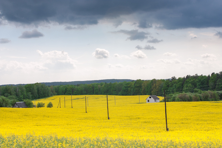 Yellow oilseed rape field under dramatic sky