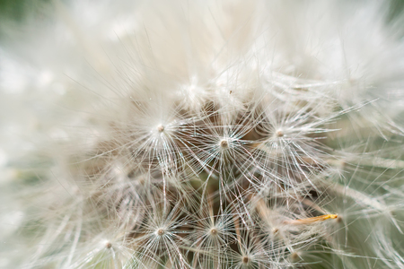 White dandelion abstract macro shot selective focus Stock Photo