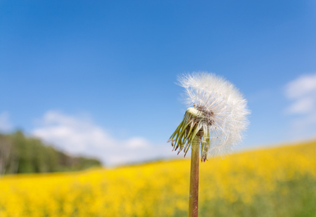 White dandelion close up against the blue sky and yellow field with copy-space Stock Photo