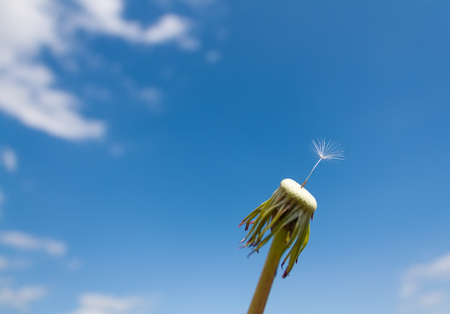 White dandelion macro against the blue sky with copy-space Stock Photo