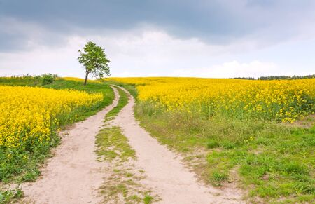 Country road through a field of rapeseed, dramatic sky and lonely tree Stock Photo