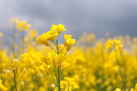 Blooming canola in the field close-up horizontal Stock Photo
