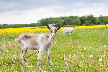Deux chèvres paissent dans la prairie paysage Banque d'images - 59481098