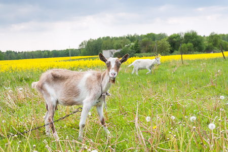 Two goats grazing on the meadow landscape Stock Photo
