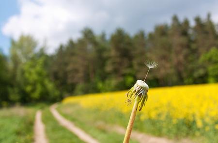 Graine de pissenlit solitaire de près en face de la route rurale Banque d'images - 59481099