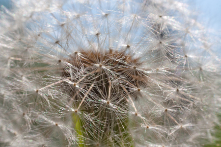 White dandelion close up. Macro shot, selective focus Stock Photo