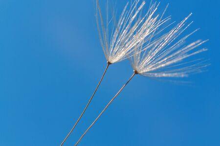 White dandelion against the blue sky. Macro shot Stock Photo
