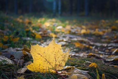 Jaune feuille d'érable à la lumière du soleil en automne Banque d'images - 62694097