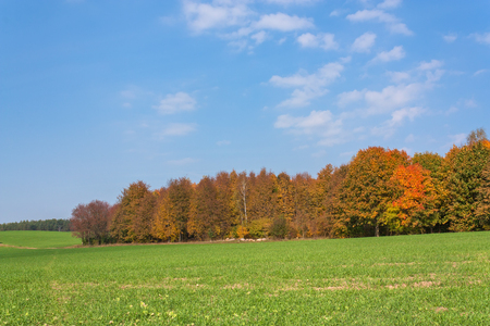 Autumn rural landscape with a forest, a green field and the blue sky. Agriculture in Belarus