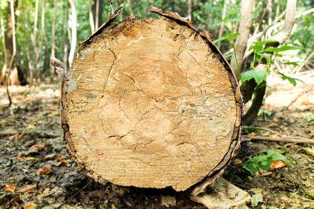 Saw cut of an old tree. The fallen tree is sawn in half.
