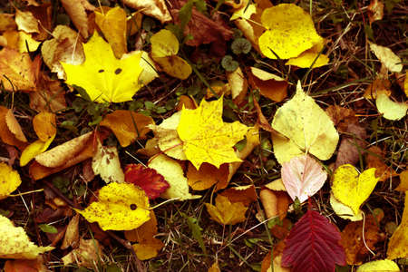 Yellow and red fallen down fox the maple on the autumn earth Stock fotó
