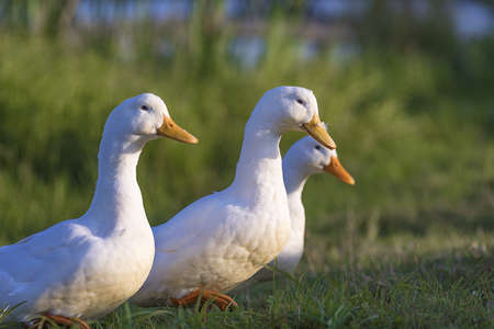 three white ducks on the pond covered with green grass go to the farm Stock fotó